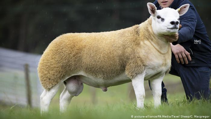 گرانترین گوسفند دنیا در اسکاتلند به فروش رسید