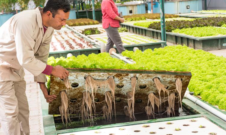 تحقیقات نشان می دهد که ترکیب تولید ماهی و سبزیجات می تواند سودآور باشد
