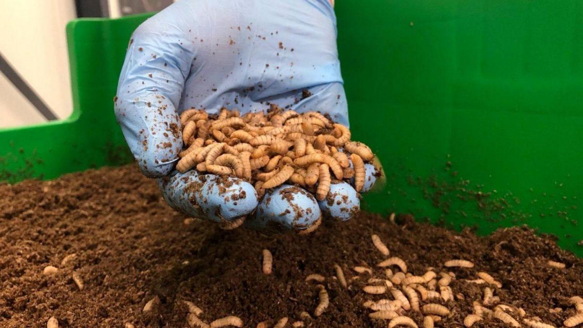 چیپس ملخ، همبرگر کرم و آبجوی سوسک؛ حشرات خوراکی در آینده صنایع غذایی